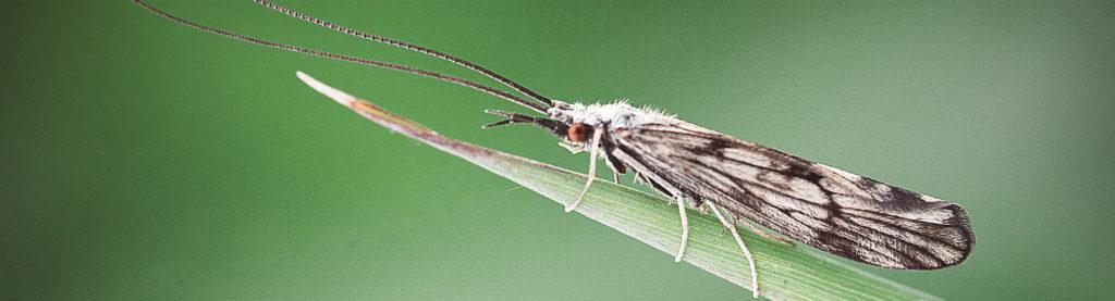 Fliegenbinden Köcherfliege Insektenkunde Sedge Trichoptera fliegenbindekurs
